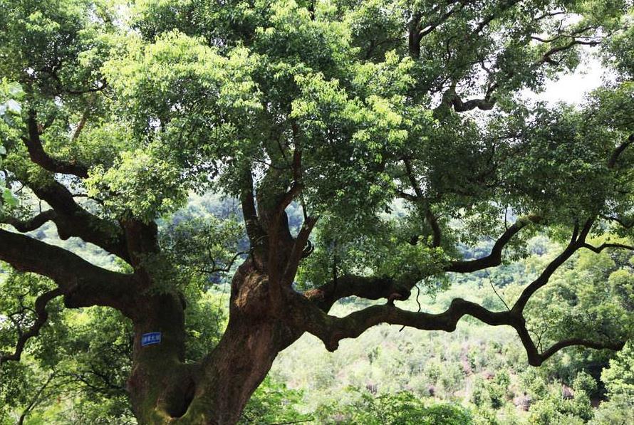 无人机为千年古树除治虫害