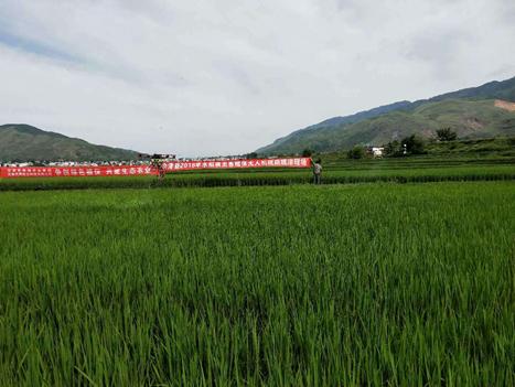 天鹰兄弟植保无人机D10展水稻二化螟植保作业
