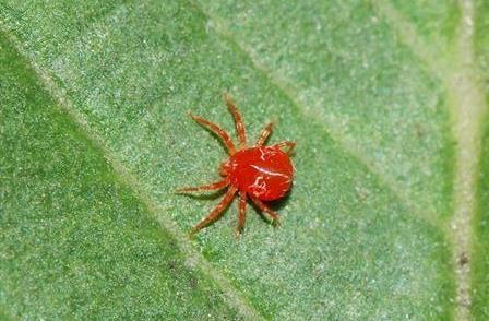 红枣红蜘蛛肆虐