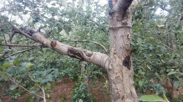 植保无人机如何苹果树防治病虫害?