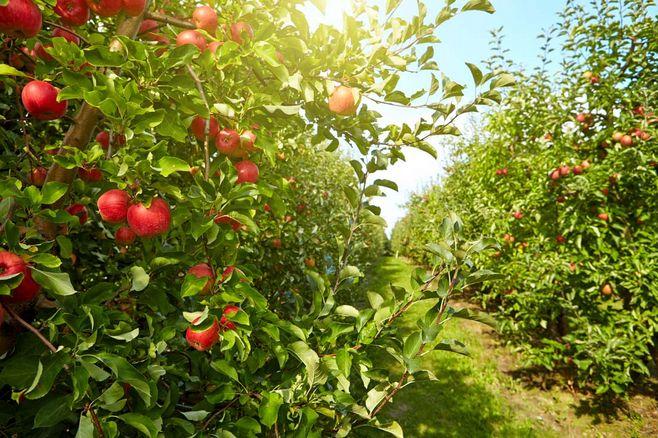 植保无人机如何苹果树防治病虫害?插图