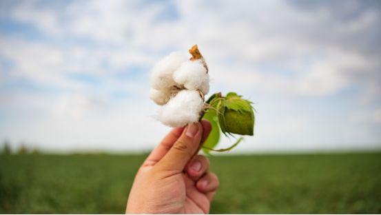 大疆植保机新疆棉花脱叶剂作业