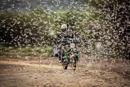 印度农业部要求允许使用无人机对付蝗虫